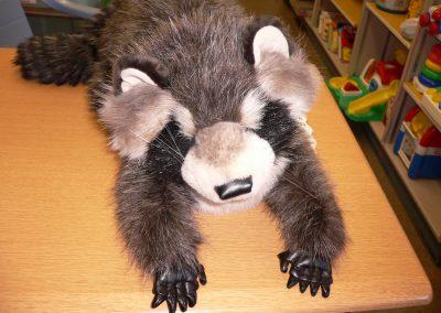 CCR001665 Raccoon Pupp
